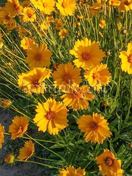 bild m dchenauge coreopsis tinctoria 487236 bilder und videos von pflanzen und g rten. Black Bedroom Furniture Sets. Home Design Ideas