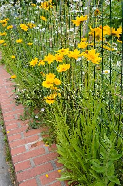 bild m dchenauge coreopsis tinctoria 487237 bilder und videos von pflanzen und g rten. Black Bedroom Furniture Sets. Home Design Ideas