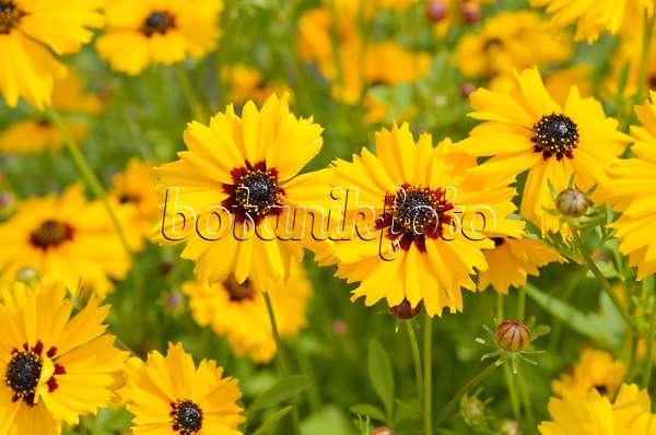 bild lanzettbl ttriges m dchenauge coreopsis lanceolata 521382 bilder und videos von. Black Bedroom Furniture Sets. Home Design Ideas