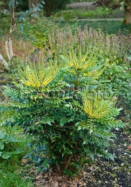 bild gew hnliche mahonie mahonia aquifolium 412028. Black Bedroom Furniture Sets. Home Design Ideas