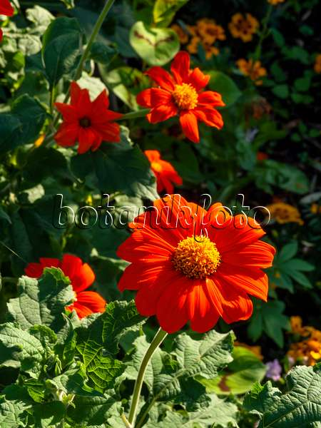 bild mexikanische sonnenblumen tithonia rotundifolia und studentenblumen tagetes 476032. Black Bedroom Furniture Sets. Home Design Ideas