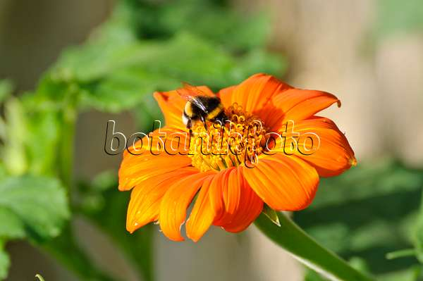 bild mexikanische sonnenblume tithonia rotundifolia afrikanisches lampenputzergras. Black Bedroom Furniture Sets. Home Design Ideas