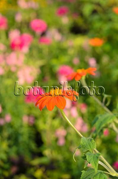 bild mexikanische sonnenblume tithonia rotundifolia 463041 bilder und videos von pflanzen. Black Bedroom Furniture Sets. Home Design Ideas