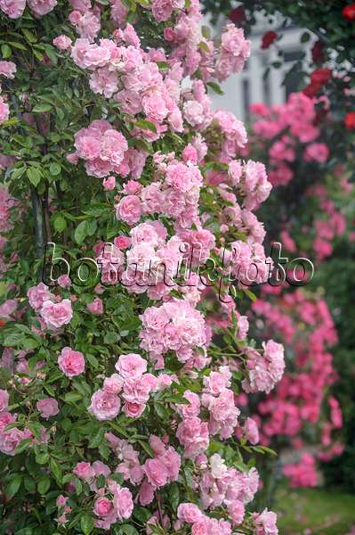 bild multiflora rose rosa tausendsch n 509128 bilder. Black Bedroom Furniture Sets. Home Design Ideas