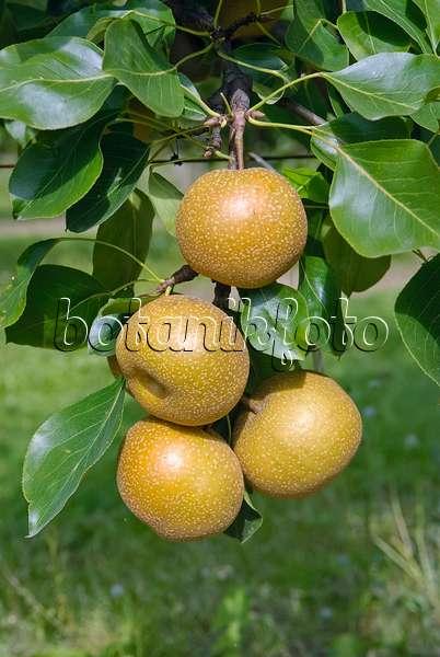 bild nashi birne pyrus pyrifolia 39 kil tu pear 39 490118. Black Bedroom Furniture Sets. Home Design Ideas