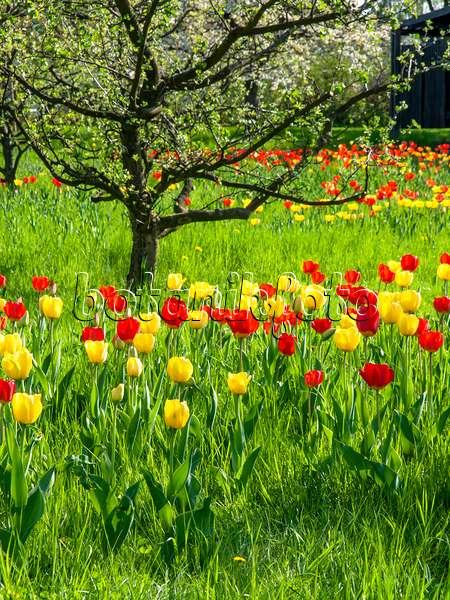 437137 obstwiese mit tulpen