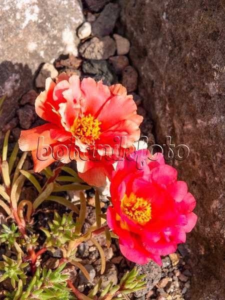 bild portulak portulaca umbraticola 476156 bilder und videos von pflanzen und g rten. Black Bedroom Furniture Sets. Home Design Ideas