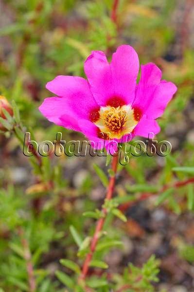 bild portulak portulaca grandiflora 475227 bilder und videos von pflanzen und g rten. Black Bedroom Furniture Sets. Home Design Ideas