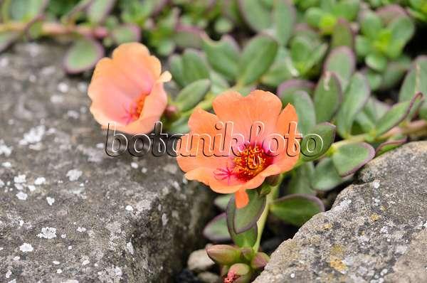 bild portulak portulaca umbraticola 522089 bilder und videos von pflanzen und g rten. Black Bedroom Furniture Sets. Home Design Ideas