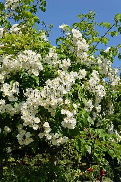 bild ramblerrose rosa bobby james 521122 bilder und videos von pflanzen und g rten. Black Bedroom Furniture Sets. Home Design Ideas