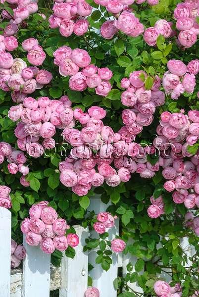 bild ramblerrose rosa raubritter 517417 bilder und. Black Bedroom Furniture Sets. Home Design Ideas