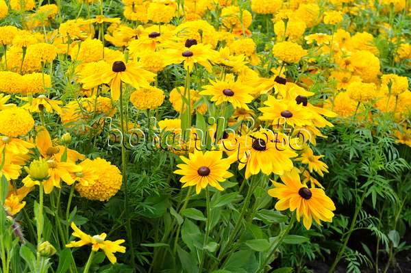 bild sonnenhut rudbeckia studentenblumen tagetes. Black Bedroom Furniture Sets. Home Design Ideas