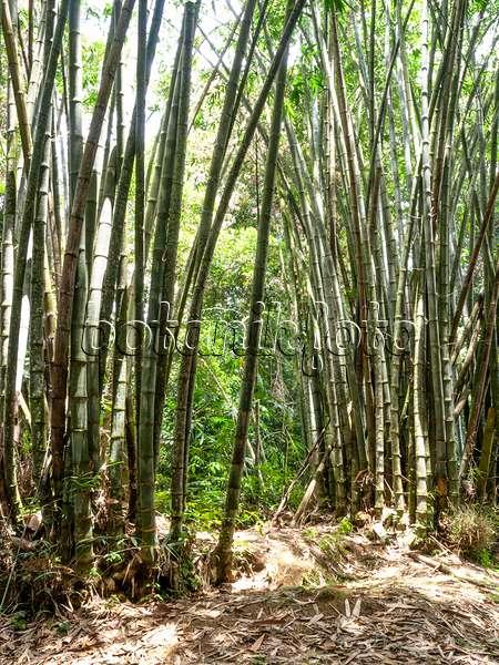 bilder bambus bilder und videos von pflanzen und g rten botanikfoto. Black Bedroom Furniture Sets. Home Design Ideas