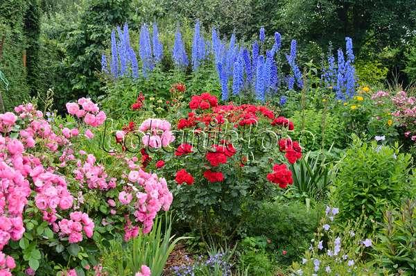bild rittersporne delphinium und rosen rosa 426200 bilder und videos von pflanzen und. Black Bedroom Furniture Sets. Home Design Ideas