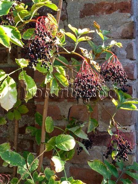 bild schwarzer holunder sambucus nigra 39 black beauty. Black Bedroom Furniture Sets. Home Design Ideas