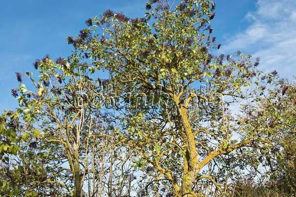 bild schwarzer holunder sambucus nigra 483038 bilder und videos von pflanzen und g rten. Black Bedroom Furniture Sets. Home Design Ideas