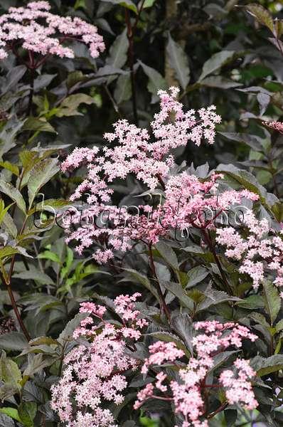 bild schwarzer holunder sambucus nigra 39 black lace 39 471459 bilder und videos von pflanzen. Black Bedroom Furniture Sets. Home Design Ideas