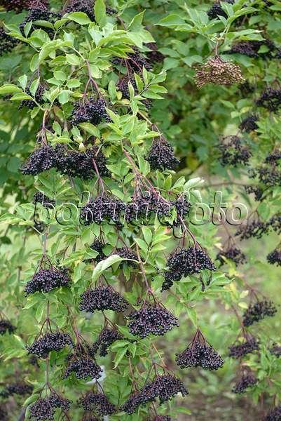 bild schwarzer holunder sambucus nigra 39 haschberg 39 547293 bilder und videos von pflanzen. Black Bedroom Furniture Sets. Home Design Ideas