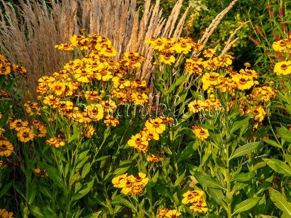 bild moorreitgras calamagrostis x acutiflora 39 karl foerster 39 astern aster und australisches. Black Bedroom Furniture Sets. Home Design Ideas