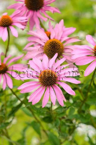 bild sonnenhut echinacea purpurea und staudenphlox. Black Bedroom Furniture Sets. Home Design Ideas