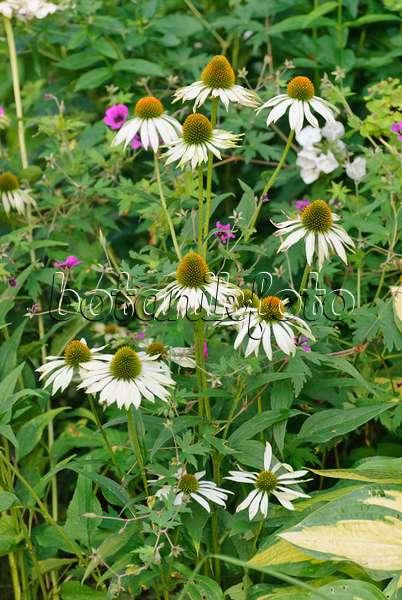 bild sonnenhut echinacea purpurea 39 alba 39 523037 bilder und videos von pflanzen und g rten. Black Bedroom Furniture Sets. Home Design Ideas