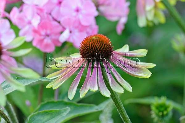 bild sonnenhut echinacea purpurea 39 green envy 39 474466. Black Bedroom Furniture Sets. Home Design Ideas