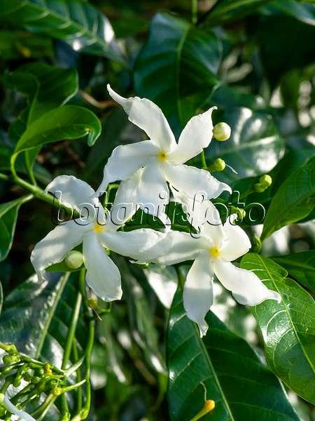 VƯỜN CÂY ĐV II - Page 27 Bild-foto-sternjasmin-trachelospermum-jasminoides-434091