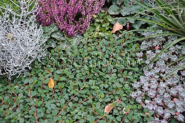 Bild weidenbl ttrige zwergmispel cotoneaster salicifolius for Evergreen pflanzen