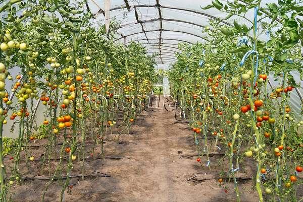 bild tomaten lycopersicon esculentum in blechwannen. Black Bedroom Furniture Sets. Home Design Ideas