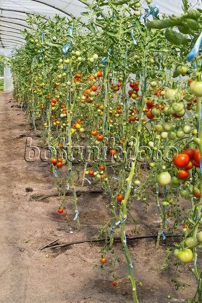 bild tomaten lycopersicon esculentum mit regenschutz. Black Bedroom Furniture Sets. Home Design Ideas