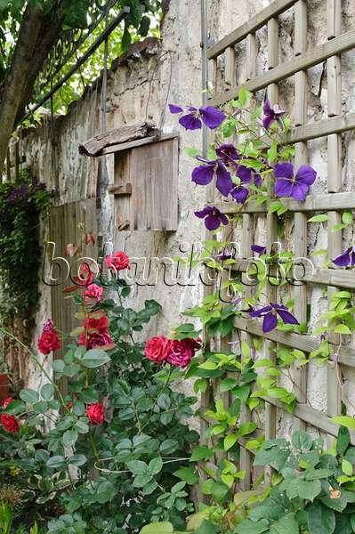 Bild waldrebe clematis x jackmanii mit beschattetem fu - Gartenbau beschattet ...