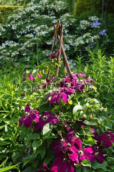 bild waldrebe clematis rouge cardinal 497172 bilder und videos von pflanzen und g rten. Black Bedroom Furniture Sets. Home Design Ideas
