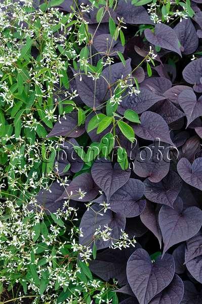 bild s kartoffel ipomoea batatas 434184 bilder und videos von pflanzen und g rten. Black Bedroom Furniture Sets. Home Design Ideas