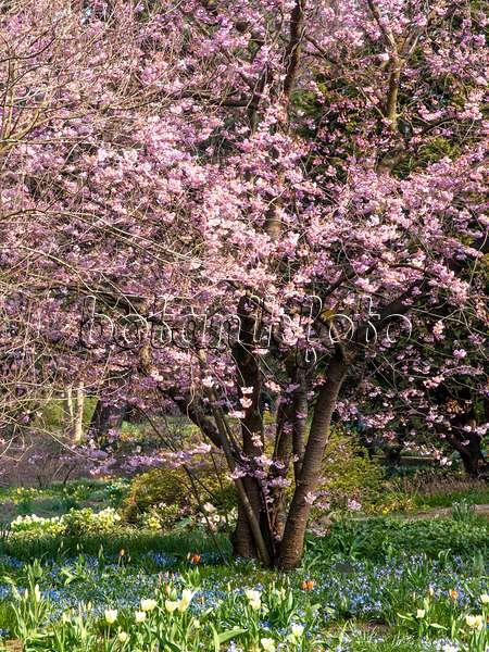 bild rauhe aprikose prunus x dasycarpa 400131 bilder und videos von pflanzen und g rten. Black Bedroom Furniture Sets. Home Design Ideas