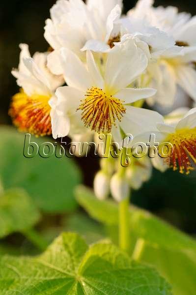 Bilder sparrmannia bilder und videos von pflanzen und g rten botanikfoto - Zimmerlinde bilder ...