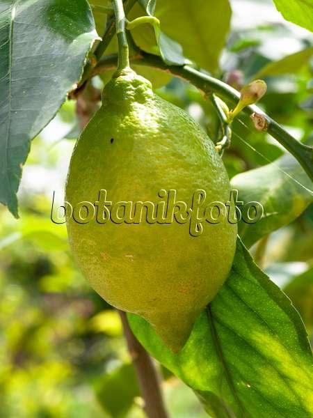 bild zitrone citrus limon 39 rosso 39 484104 bilder und videos von pflanzen und g rten. Black Bedroom Furniture Sets. Home Design Ideas