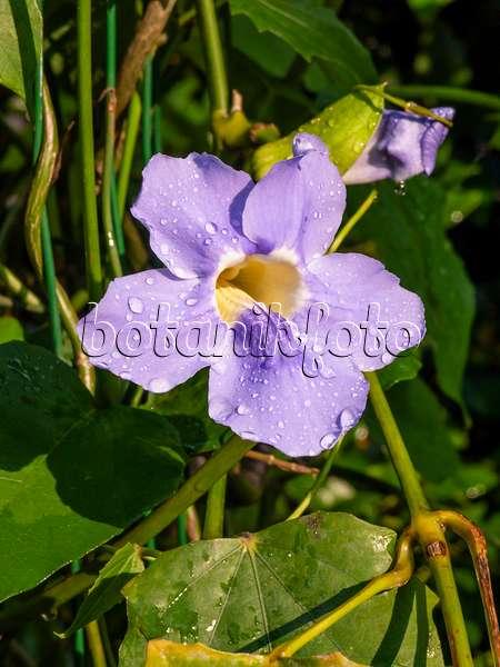 trumpet vine plant. 427152 - Blue trumpet vine