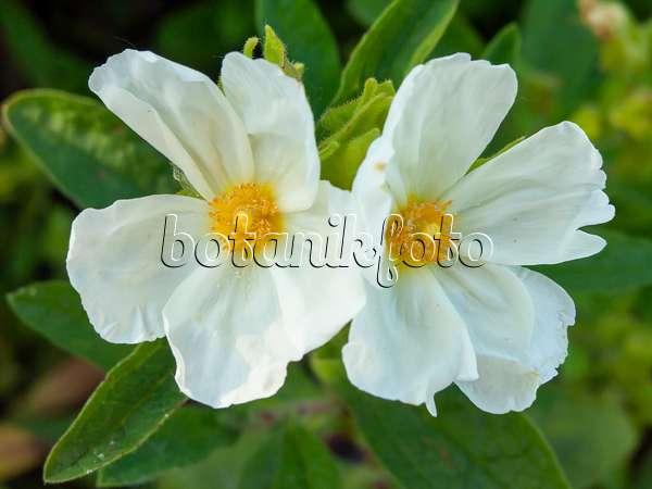 425102 Albanian Rock Rose Cistus Albanicus