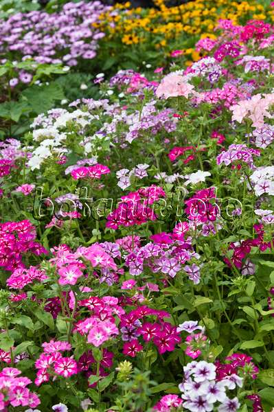 image annual phlox phlox drummondii 39 petticoat 39 427264 images and videos of plants and. Black Bedroom Furniture Sets. Home Design Ideas