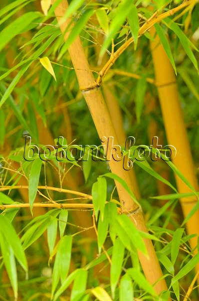 image bamboo phyllostachys vivax 39 aureocaulis 39 with. Black Bedroom Furniture Sets. Home Design Ideas