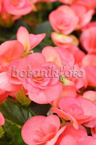 images begonias images and videos of plants and gardens. Black Bedroom Furniture Sets. Home Design Ideas