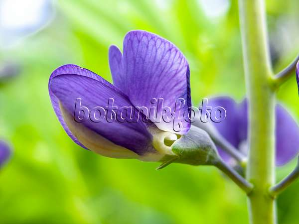438007 - Blue false indigo (Baptisia australis)