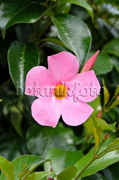 Image brazilian jasmine mandevilla sanderi 39 sundaville for Dipladenia sanderi
