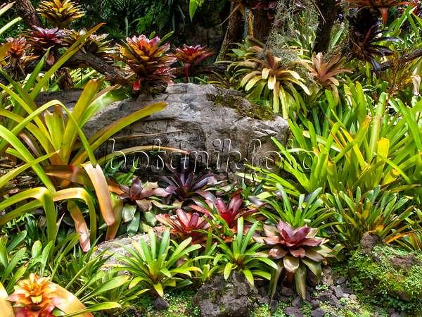 454150   Bromeliad Garden, National Orchid Garden, Singapore