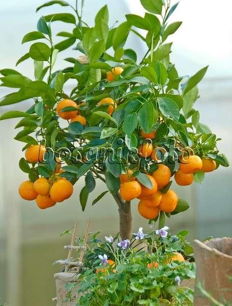 Rangpur lime (Citrus x limonia)