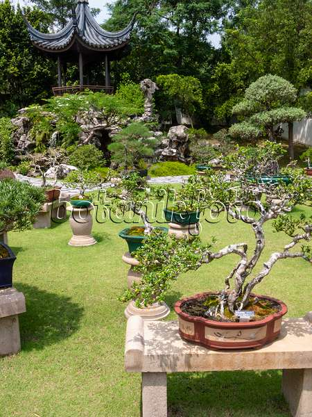 411212   Carmona Retusa, Bonsai Garden, Singapore