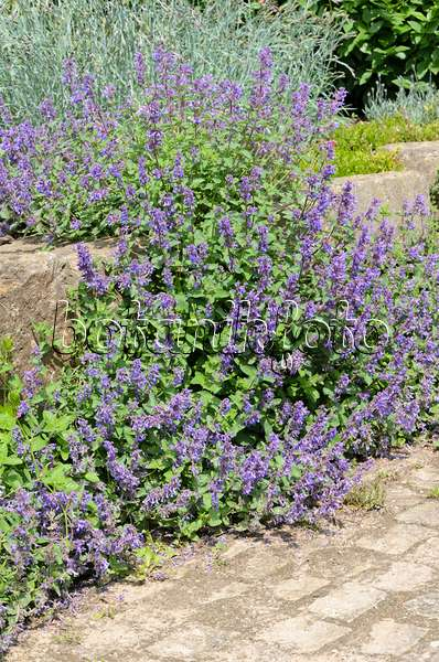 image catmint nepeta grandiflora 39 wild cat 39 461104 images and videos of plants and gardens. Black Bedroom Furniture Sets. Home Design Ideas