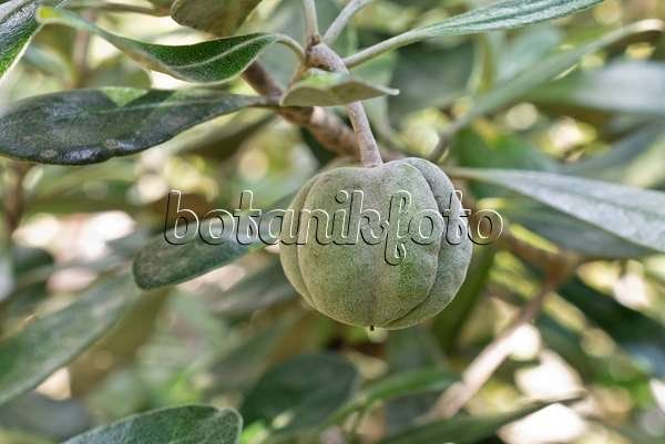 Images Pittosporum - Images and videos of plants and gardens ...