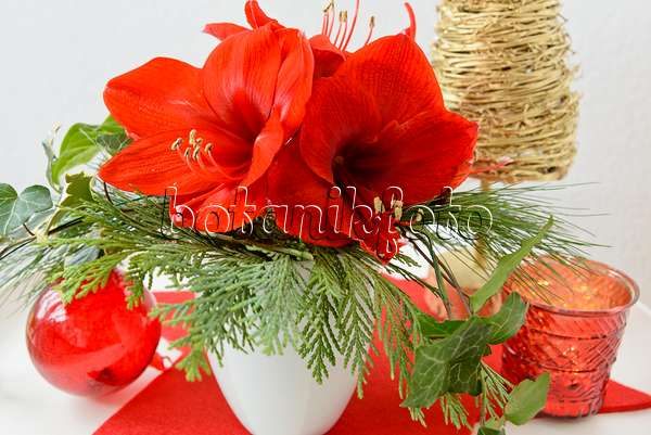 Image amaryllis hippeastrum 529029 images and videos for Amaryllis christmas decoration