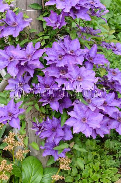 images clematis 4 images and videos of plants and. Black Bedroom Furniture Sets. Home Design Ideas